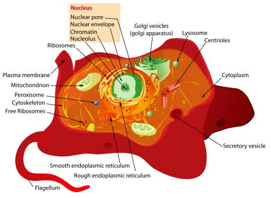 Animal cell structures functions diagrams labeled diagram animal cell ccuart Image collections