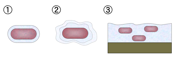 Diagram of bacterial mucoid-like structures: 1 capsule, 2. slime layer, 3. biofilm