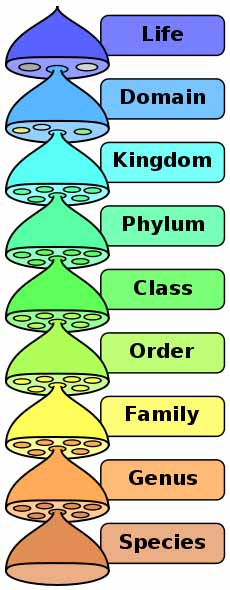 Illustration of Hierarchy of Biological Classification