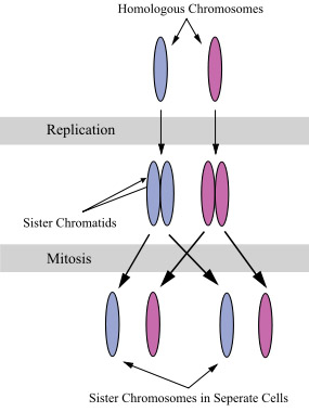 Chomosomes & Chromatids During Mitosis
