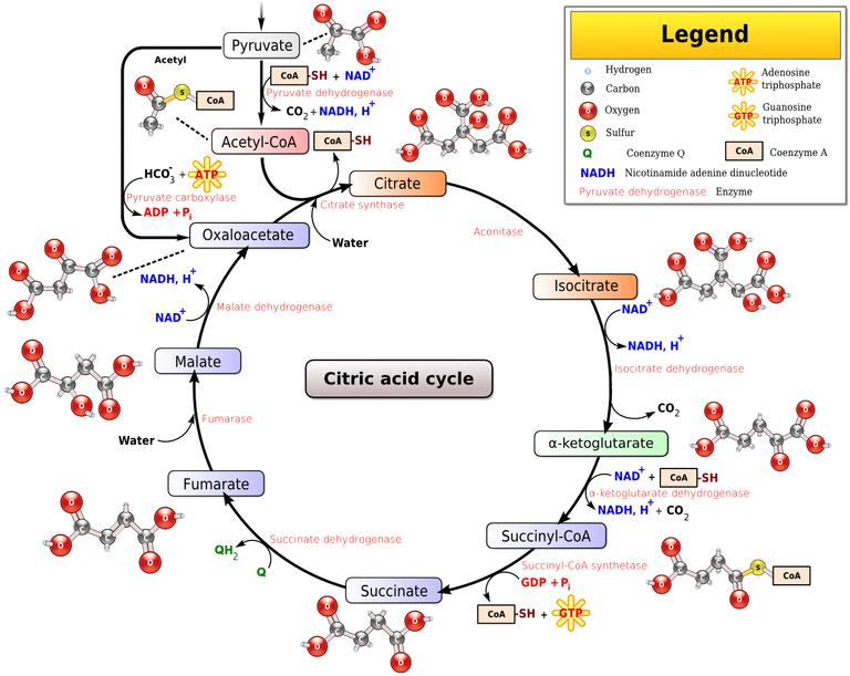 Metabolism the steps of aerobic cellular respiration krebs cycle diagram ccuart