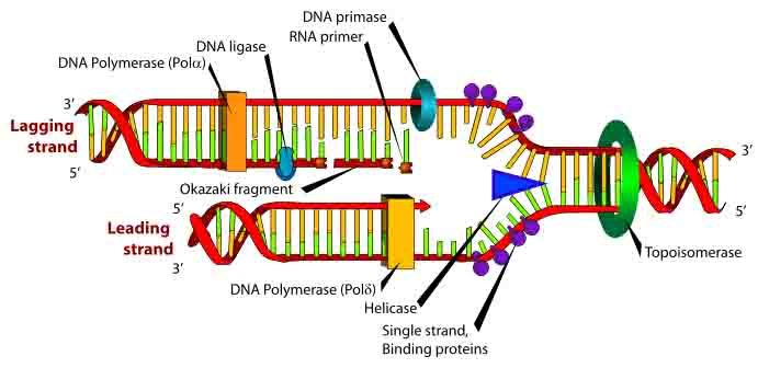DNA Replication Lagging & Leading Strands