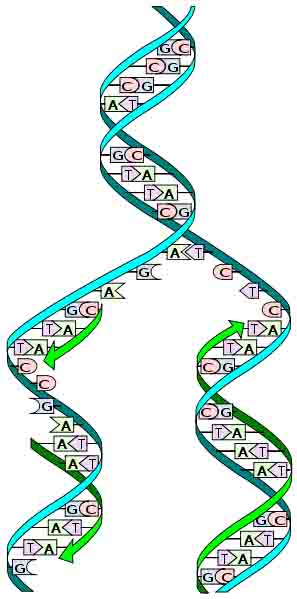 DNA Semi-conservative Replication Illustration