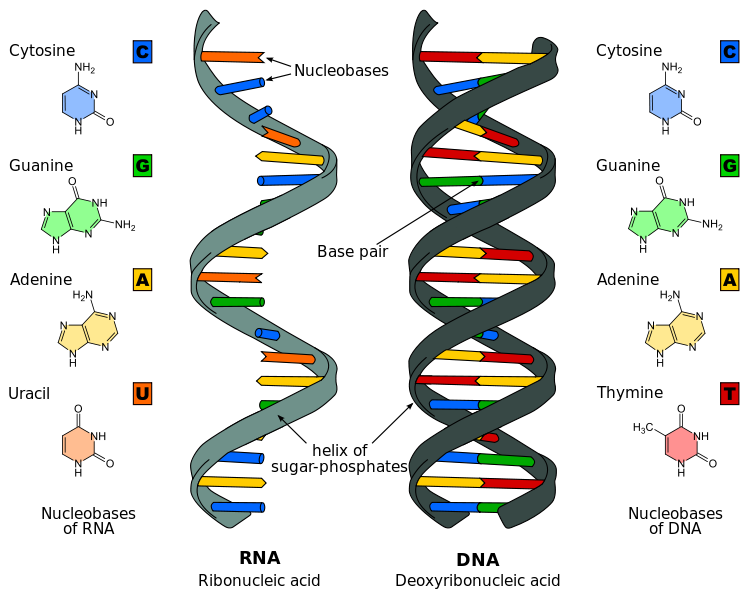 Nucleic Acid Function  Dna Replication  Transcription  U0026 Translation