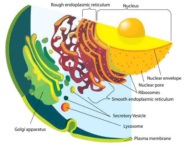 Labeled Illustration of the Eukaryotic Endomembrane System