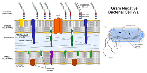 Illustration of Gram-negative cell wall structure