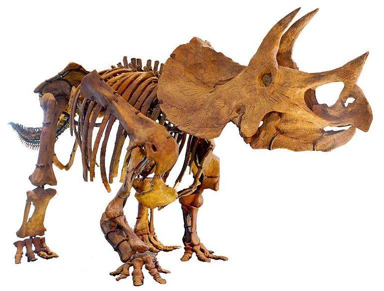 Triceratops mounted skeleton at Los Angeles Museum of Natural History