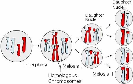 Overview of meiosis illustration