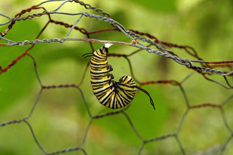 Monarch caterpillar beginning pupation.