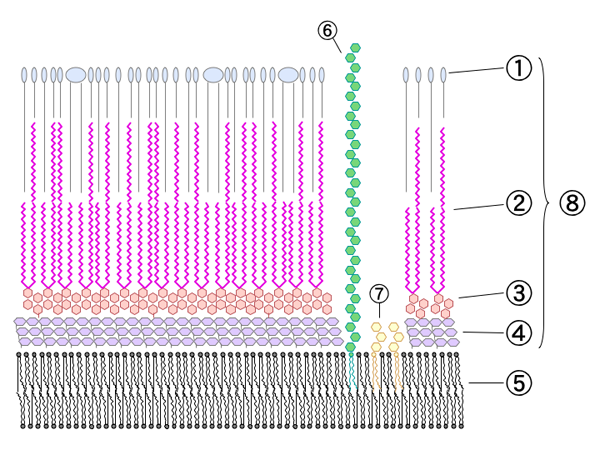Schematic diagram of Mycobacterial cell wall.