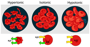 Diagram of Osmosis in Red Blood Cells