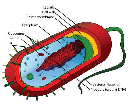 Diagram of Prokaryotic Cell by Mariana Ruiz
