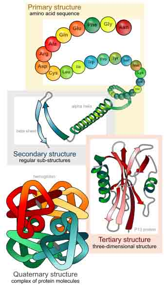 Four levels of protein structure: Primary, secondary, tertiary and quaternary.