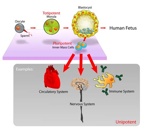 Diagram of Embryonic Stem Cells