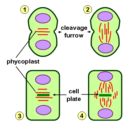 Cytokinesis in animal and plant cell