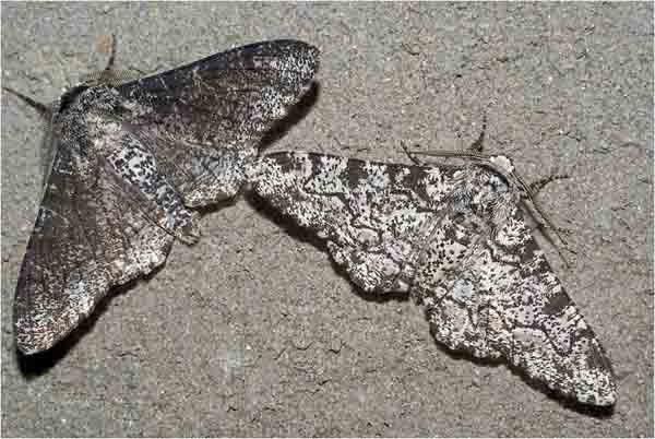 Peppered Moth: The Melanic carbonaria (Left) and the More Common Light-colored typica (Right).