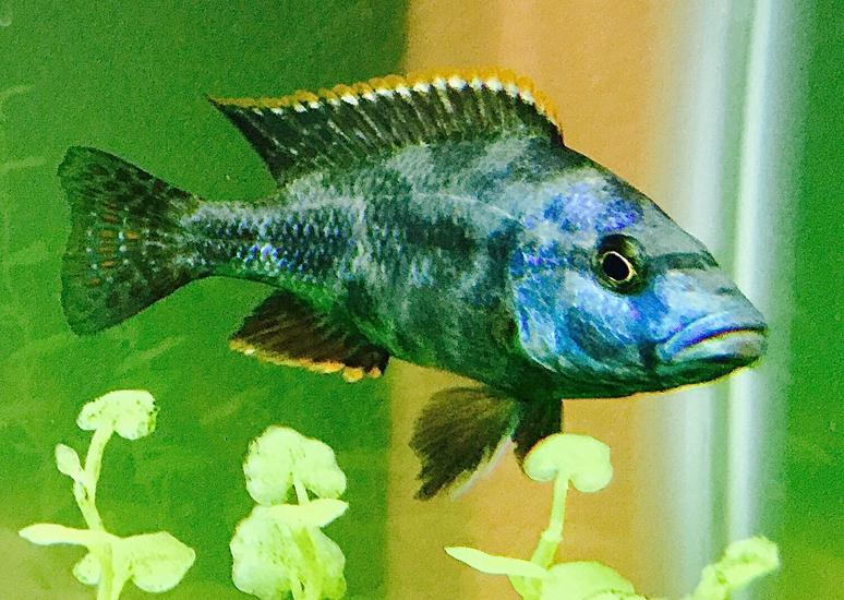 Male Livingston Cichlid (Nimbochromis livingstonii)
