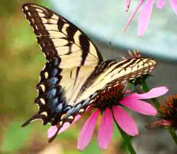 Female Eastern tiger swallowtail (Papilio glaucus) feeding on purple cone flower.