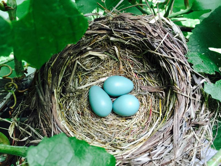 American robin eggs, unfertilized and broken.