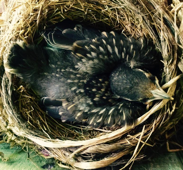 American robin nestling the day before fledging.