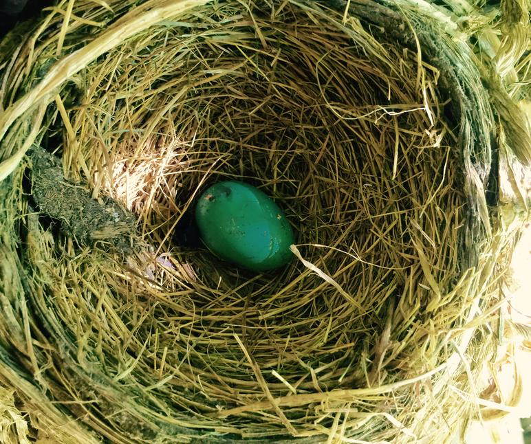 Abandoned American robin nest with one old unhatched egg.
