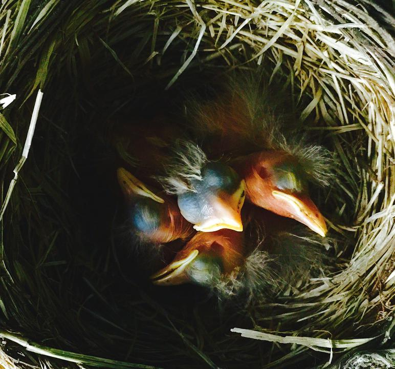 Four 2-day-old American robin chicks sleeping