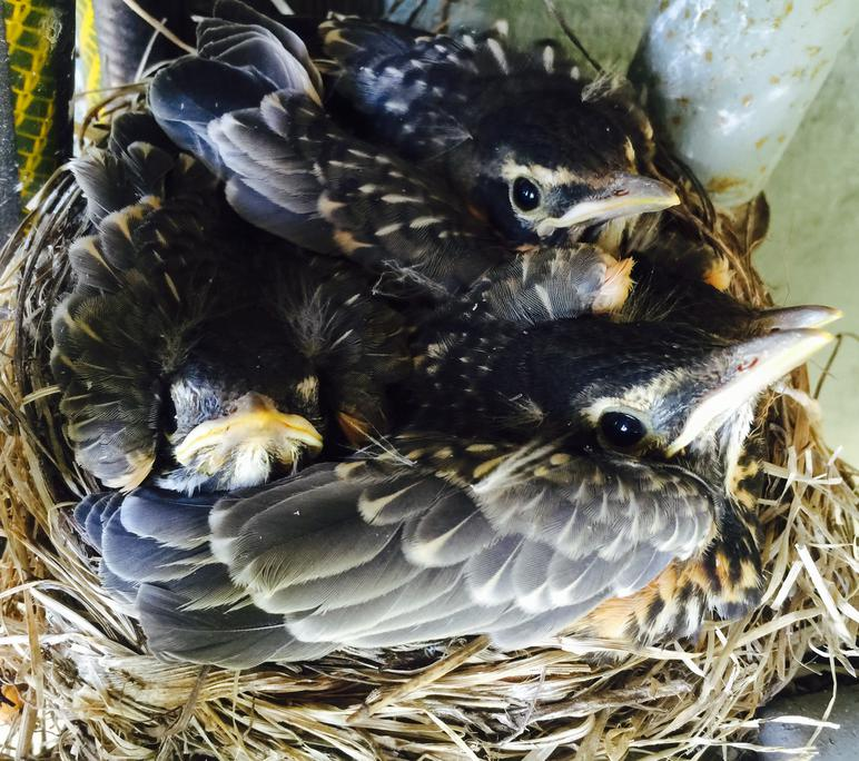 American Robin nestling chicks 13 days old - top view