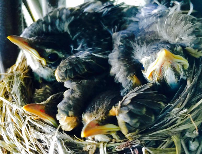 American Robin nestling chicks 12 days after hatching