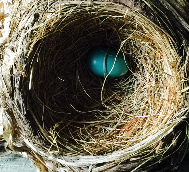 First egg laid in American robin clutch.