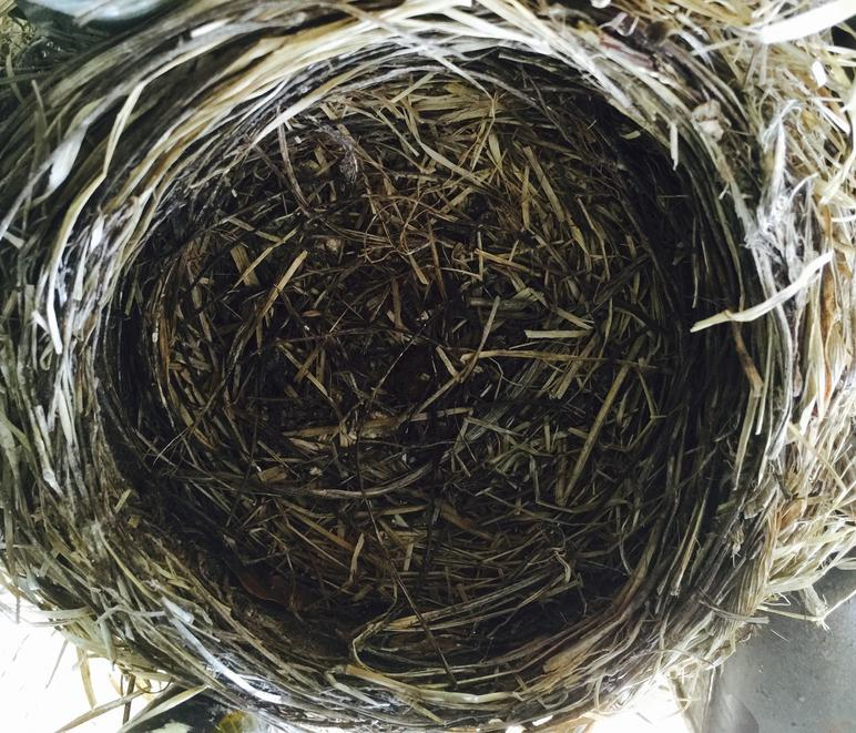 Empty American robin nest on day chicks fledged.