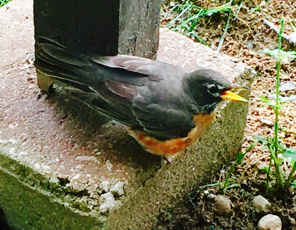 American robin female making alarm call.