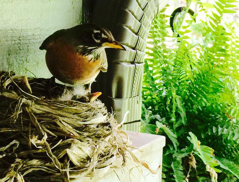 American robin female on nest with two chicks visible.