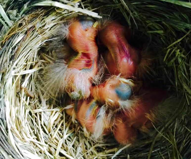 Four day-old American robin chicks have hatched, and are sleeping.