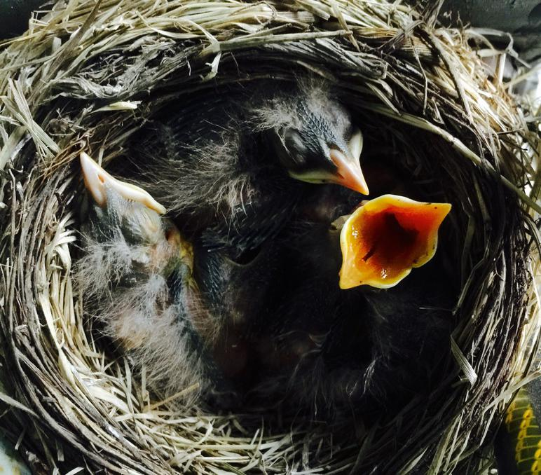 American Robin Nestling Chicks 6 Days Old