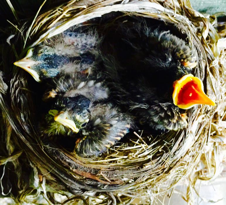 American robin nestling chicks 8 days old