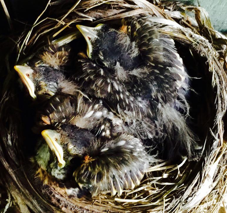 American robin nestling chicks 9 days old