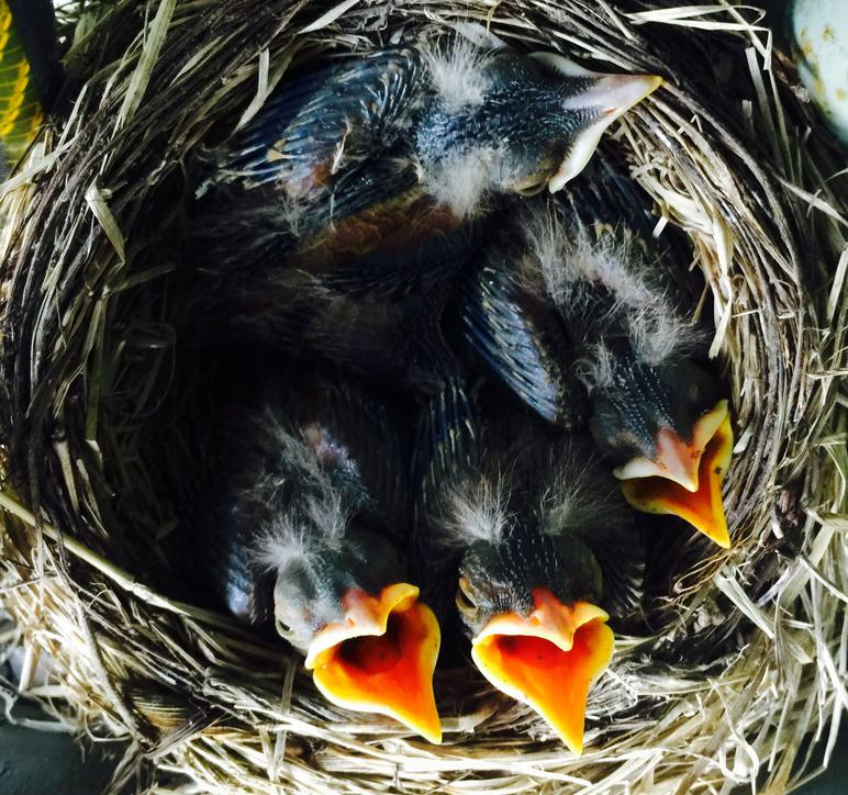 American Robin Nestling Chicks 7 Days Old