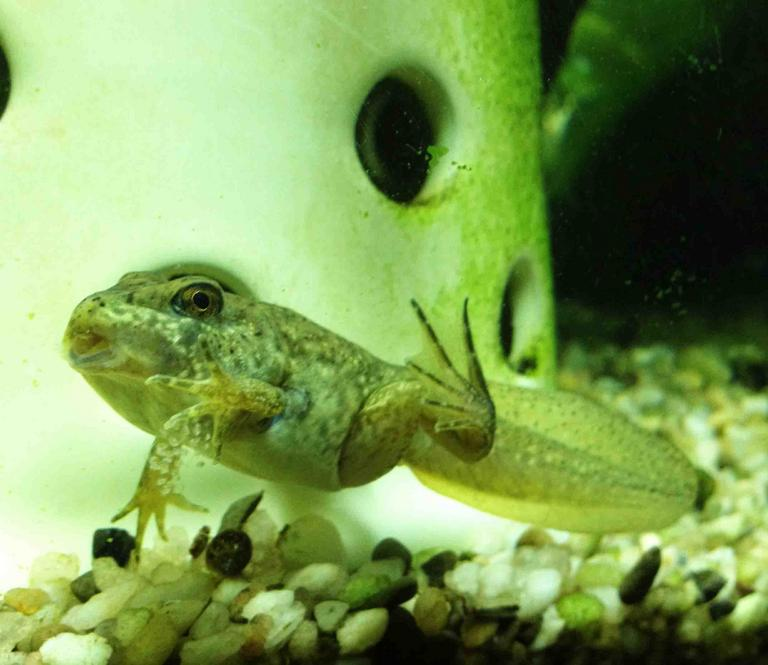 American Bullfrog Tadpole with Legs and Tail. Mouth Starting to Change Shape.