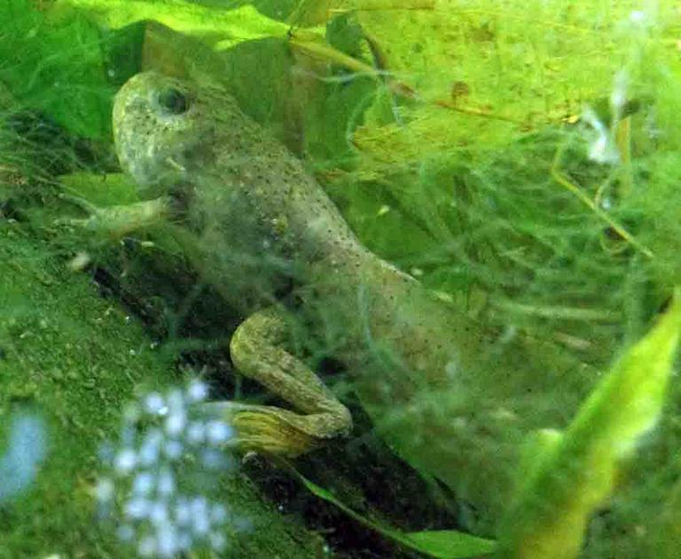 American Bullfrog Tadpole with Arms, Legs and Tail. Head Starting to Change Shape