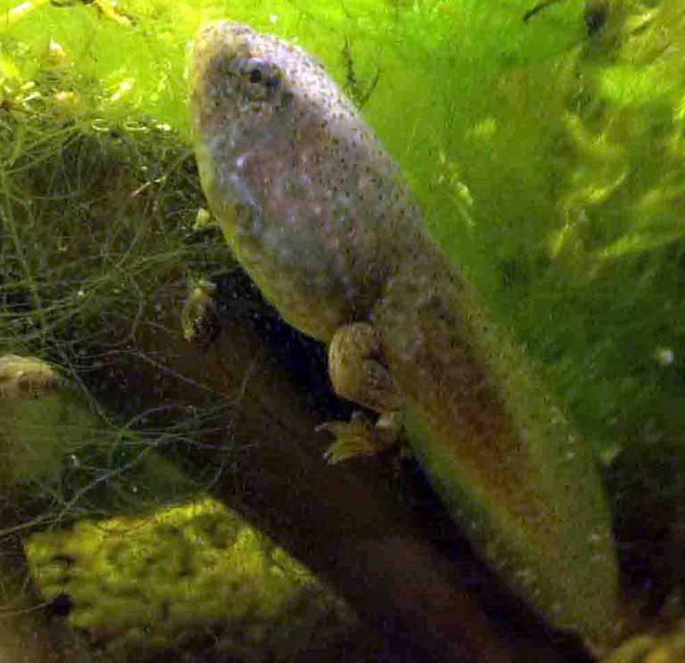 how to catch bullfrog tadpoles