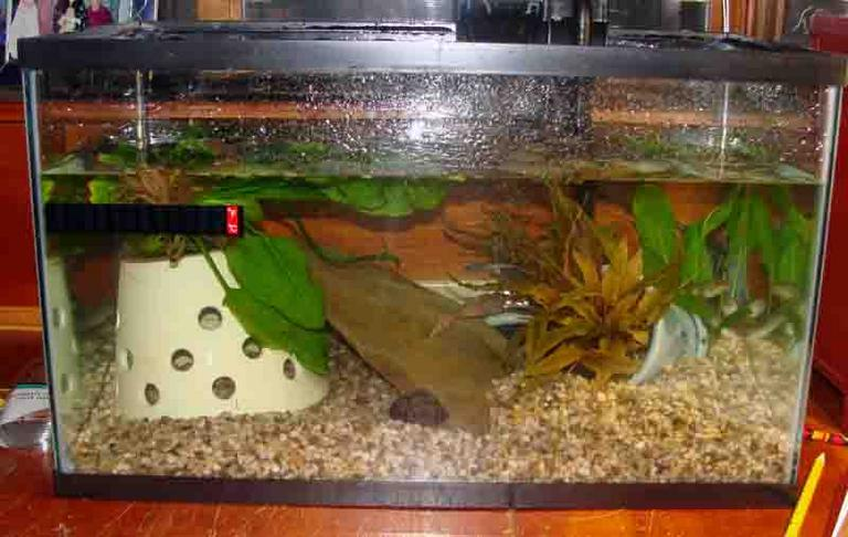 10-gallon Aquarium Tank Set Up for Captive Bullfrrog Tadpoles