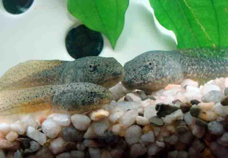 Three Bullfrog Tadpoles of Varying Size