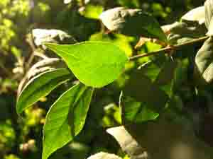 Leaf of Woody Dicot in Sunlight