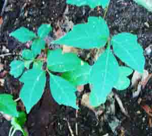 Poison Ivy, Toxicodendron radicans Photo