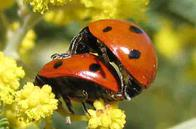 Ladybirds Mating by taken by Edal Anton Lefterov	Edal Anton Lefterov