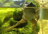 Bullfrog That Recently Completed Metamorphosis