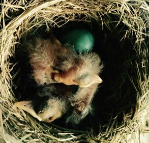 American robin hatchling chicks 3 days old