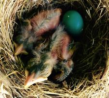 American robin nestlings 5 days old.