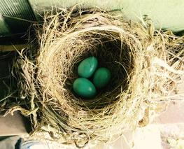 American robin nest with three eggs.