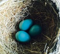 American robin Wilma's current clutch of three eggs.